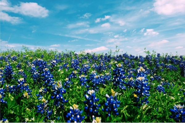 5 Austin-Area Neighborhoods Perfect for Bluebonnet Spotting