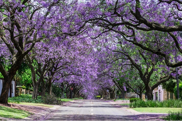 The Best Places in Southern California to See Jacaranda Trees in Bloom