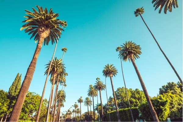 Palm trees along Beverly Drive in Beverly HIlls.