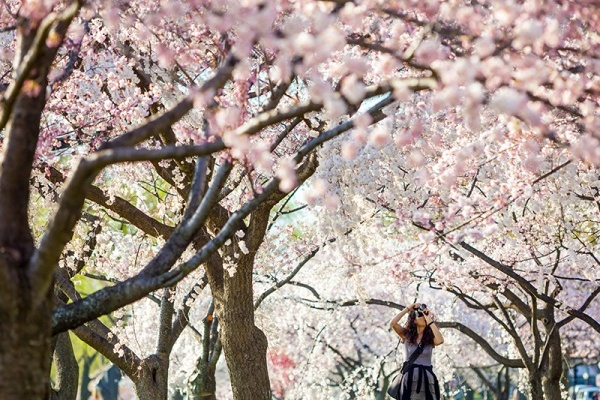 5 Spots (That Aren't the Tidal Basin) to See D.C.'s Cherry Blossoms This Spring