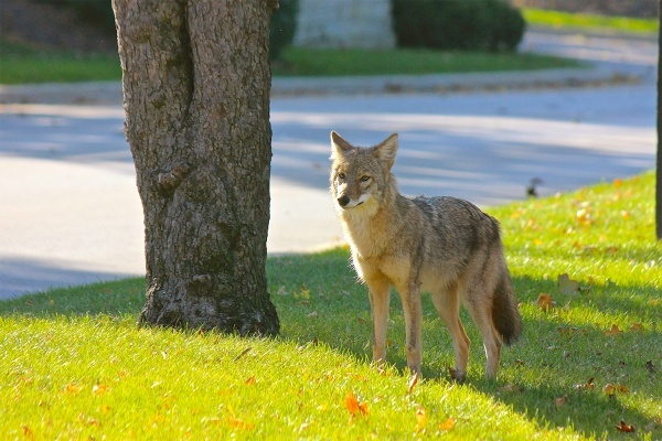 Palmetto Bay Residents Learning How to 'Coexist With Coyotes'
