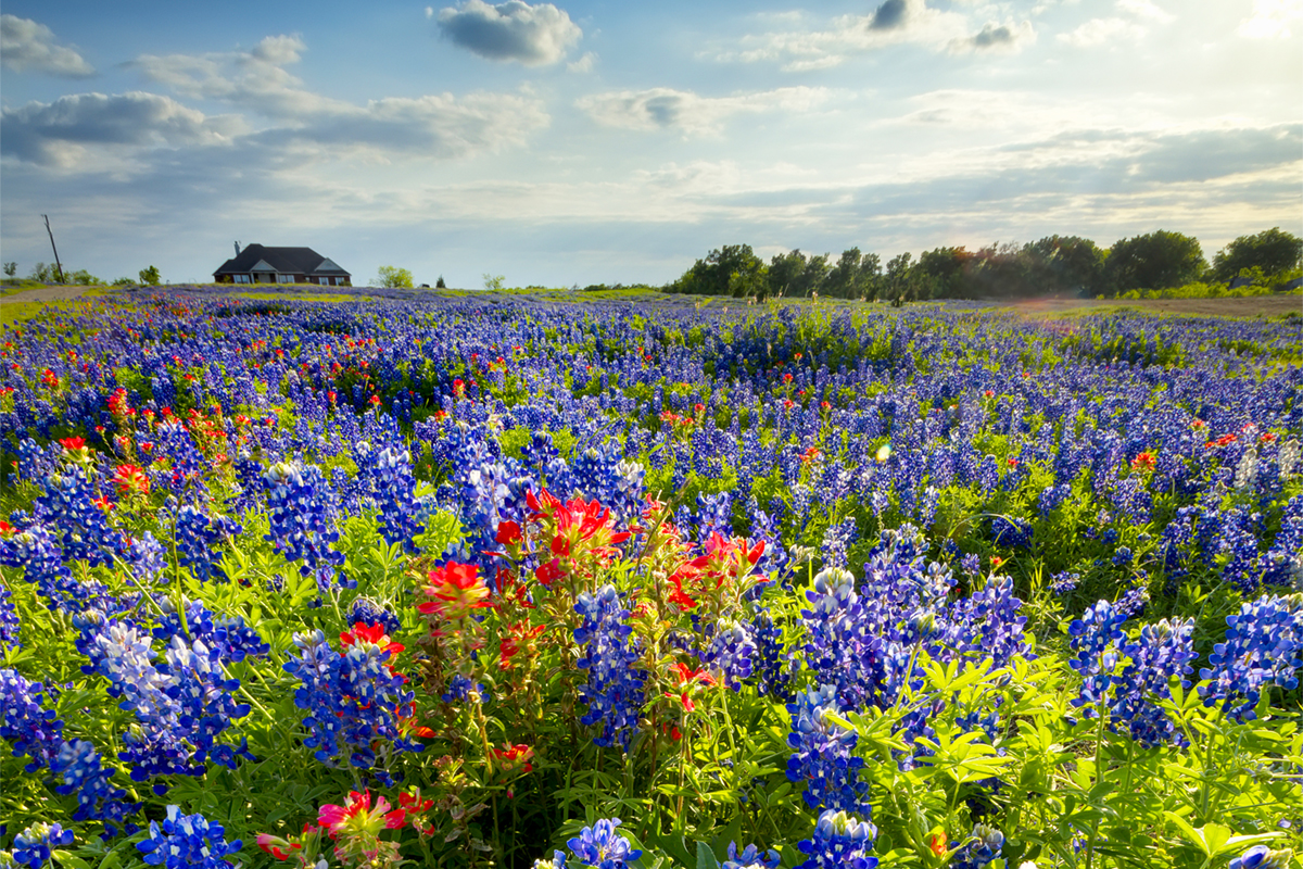 The best places to see texas bluebonnets this spring neighborhoods plano mightylinksfo