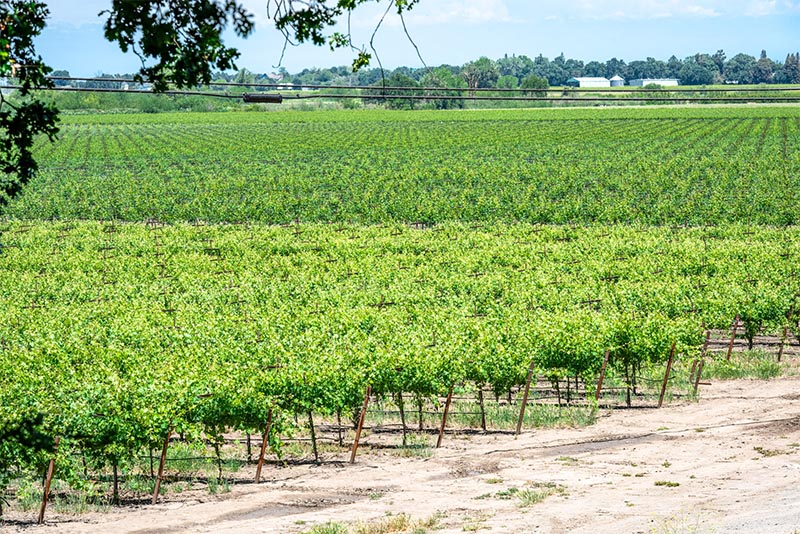A field of grape vines in northern California for wine making.